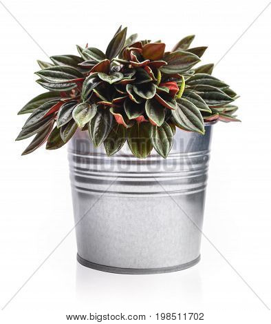 Houseplant Peperomia in a flowerpot in the form of a metal bucket isolated on white