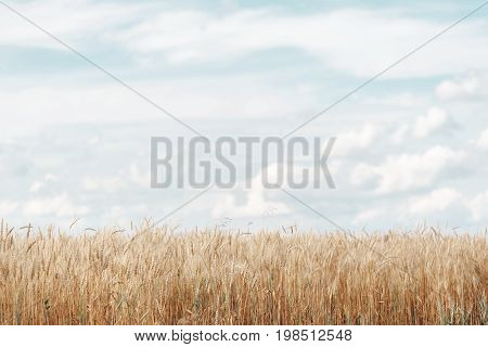 Wheat field. Ears of golden wheat close up. Rural Scenery under Shining Sunlight. Background of ripening ears of meadow wheat field. Rich harvest Concept