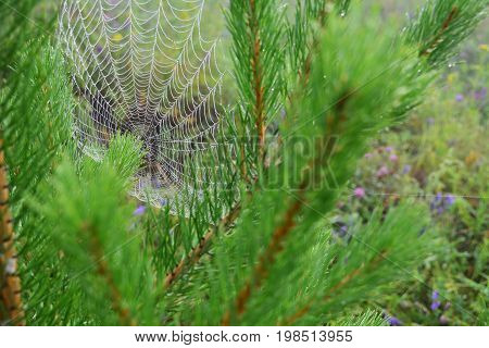 Large and neat cobweb in the pine branches