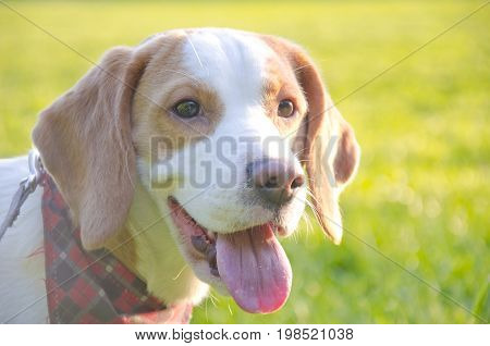 Happy beagle puppy against the bright background