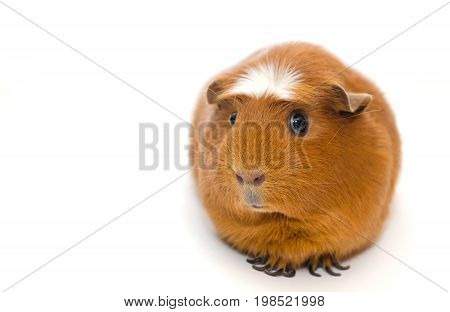 Cute guinea pig with a funny expression isolated on white (shallow DOF selective focus on the guinea pig nose) with copy space on the left
