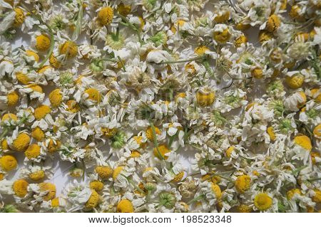 Dried chamomile flowers for a herbal tea