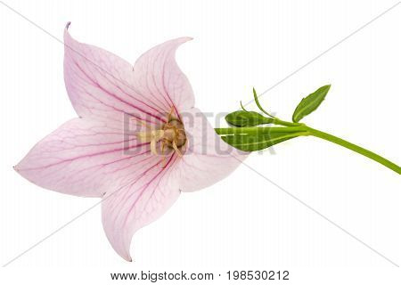 Rose Flower Of Platycodon (platycodon Grandiflorus) Or Bellflowers, Isolated On White Background