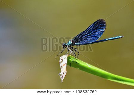 Closeup of dragonfly Calopteryx virgo. Macro shot.