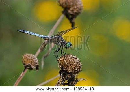 Blue dasher dragonfly perched on spent bee balm flower. This dasher is of the skimmer family and is found in a wide variety of habitats in the USA including bogs, marshes and fields.