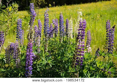 Clump of wild lupines in the Cascade River valley in the Lake Superior north shore region in Minnesota USA