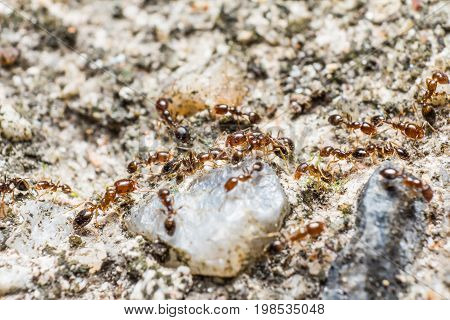 Red-brown Ants