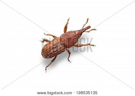 Rice Weevils (sitophilus Oryzae)