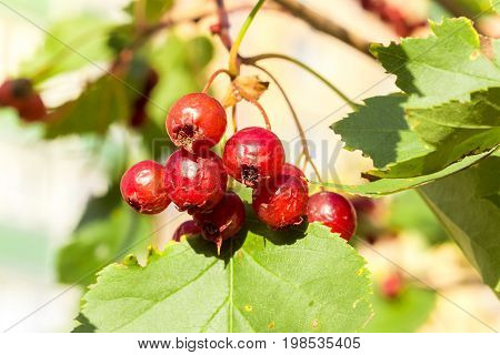 Bright red berries of a hawthorn and leaves - a close up.