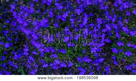 Blue Lobelia ground cover flowers in early summer background shot