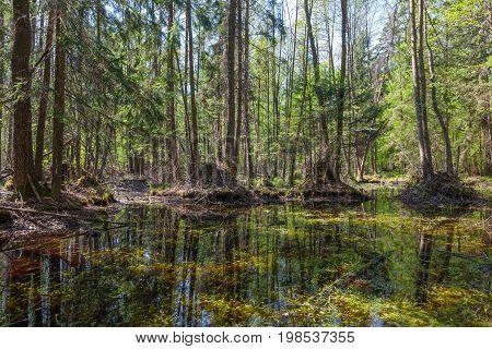 Springtime alder bog forest with standing water, Bialowieza Forest, Poland, Europe