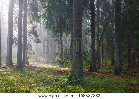Coniferous trees silhouette against light of misty sunrise morning with spiders net on spruce trees, Bialowieza Forest, Poland, Europe