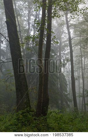 Misty autumnal morning and natural alder forest, Bialowieza Forest, Poland, Europe