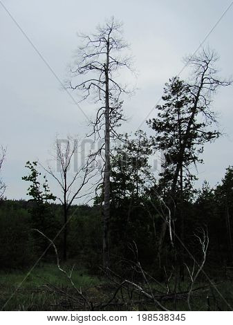 forest photo - lonely trees and far forest