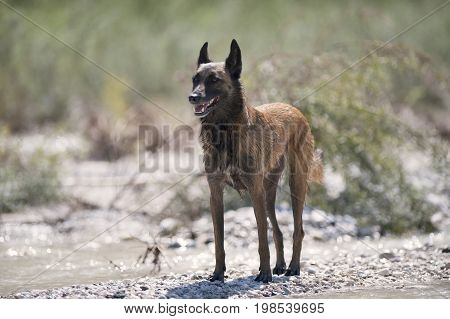 Belgian Sheepdog Malinois standing on the beach and guarding on a sunny summer day. He is relaxed but his ears are up listening what is around him.