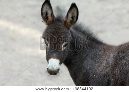 Donkey is a cute young donkey nose closeup curiously looking into the camera.