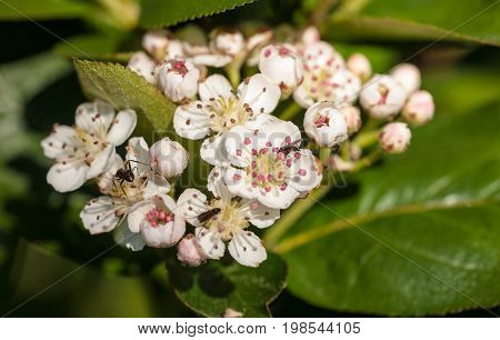 insects on white aronia flowers close up