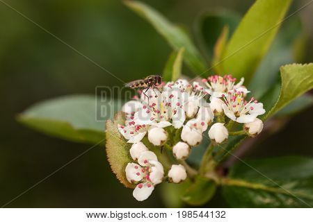 hoverfly on white aronia flowers close up