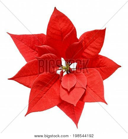 Red Christmas poinsettia flower isolated on white