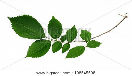 Branch of fresh green elm-tree leaves isolated on white background