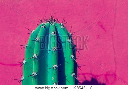 Upper extremity of a cactus replete with long spines on a pink wall.