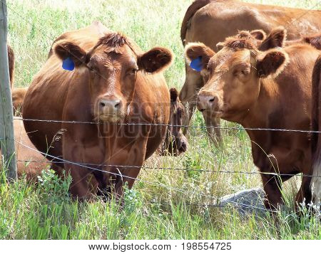 Some curious cows along the fence line watching us.