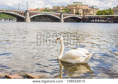 White swan in the water. Swan floating on the river