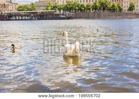 Swans on the river Vltava in Prague, capital city of Czech republic, near by Charles bridge