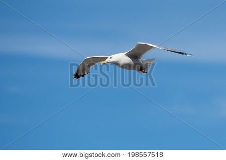 Single Seagull Flying Bird with Open Wings on Clear Blue Sky as Background, soaring in strong wind