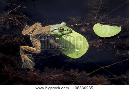 An American bullfrog rest on a lily pad partially submerged in an Indiana pond.