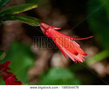 brilliant red Cactus Flower Closeup with blurred background