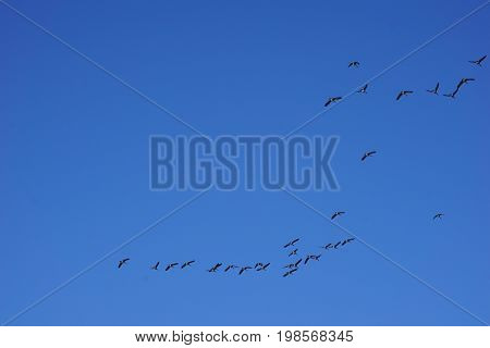 Flocks of migrating Canada geese (Branta canadensis) fly over Joliet, Illinois while on their seasonal southward migration during November.