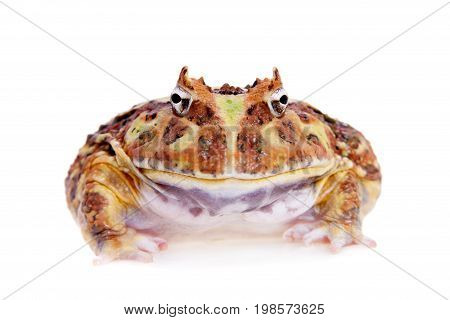 The Cranwell's horned frog, Ceratophrys cranwelli, isolated on white background
