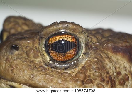 eye of ground toad extreme closeup shot