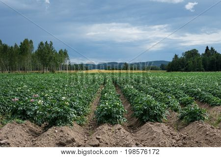Large potato field with potato plants planted in nice straight rows