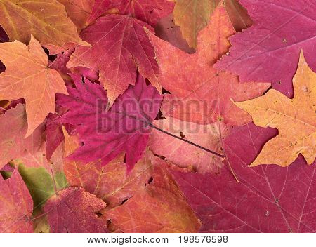 Colorful fall maple leaves for an autumn background