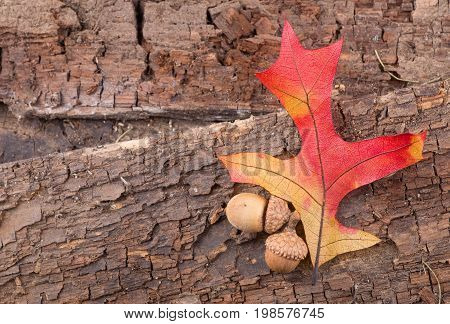 Colorful oak leaf and acorns on an old wood background