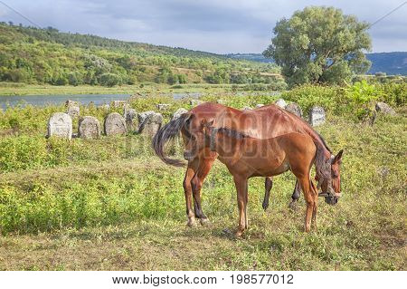 two horses mare and colt grazing on the meadow