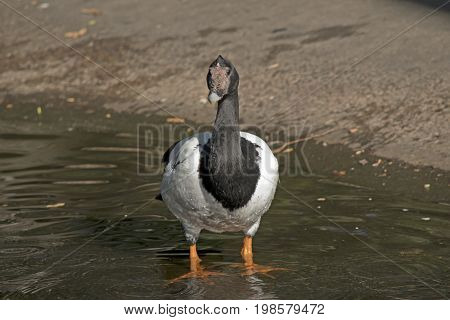 the magpie goose is wading in the water