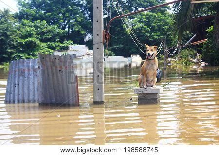 A dog is lost to the owner while flooding