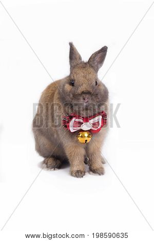 Brown netherland dwarf rabbit with red necktie on white background.