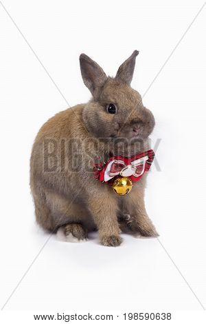 Brown netherland dwarf rabbit with red necktie sitting on white background.
