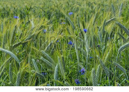 Green barley field in early summer.Close-up of green barley field with blue flowers.Young ears of grain on the background
