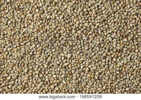 Pearl millet close up full frame
