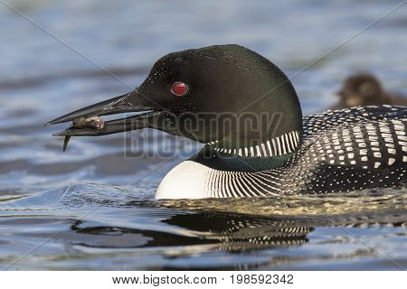 A Common Loon (Gavia immer) carries a freshly caught fish to its chick in the background - Ontario Canada