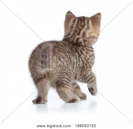 kitten or cat rear back view isolated