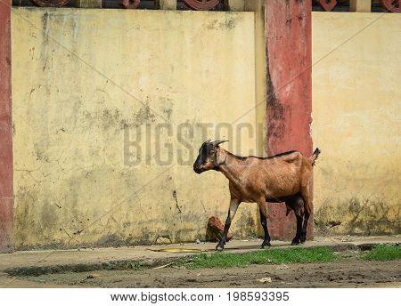 A Goat Walking On Old Street In Bodhgaya, India