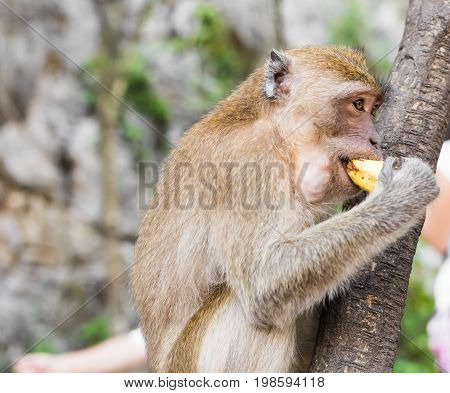 Long tailed Macaque Monkey eat banana outdoor