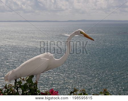 Spectacular Great Egret/Great White Heron on Bougainvillea on  a cliff in Puerto Rico overlooking the ocean.