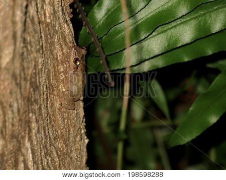 Rare View of Tiny Camouflaged Coqui Frog Climbing a Tree in Puerto Rico at Night.